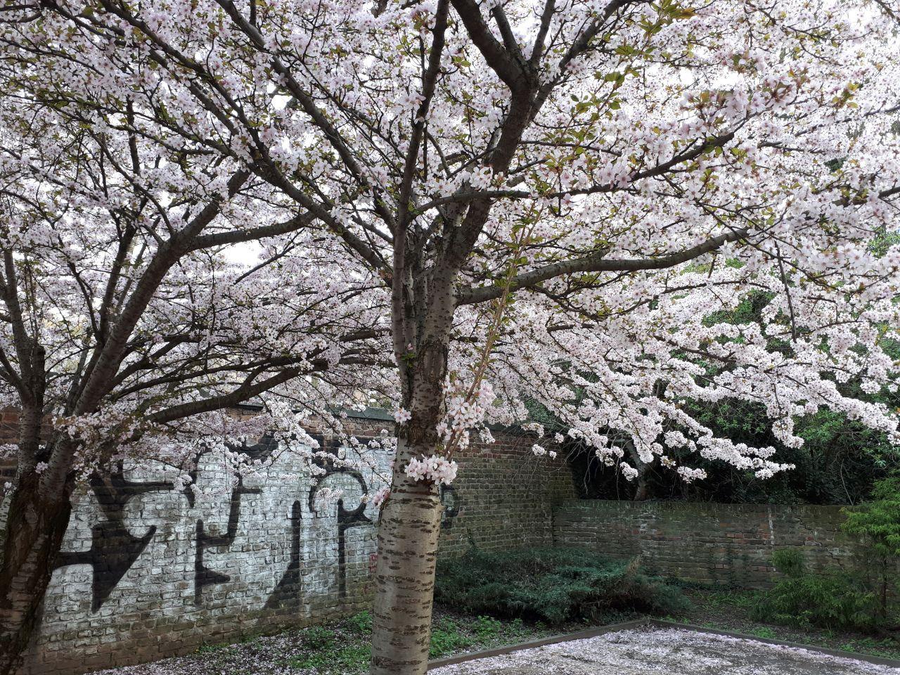 Kirschblütenbaum - 1