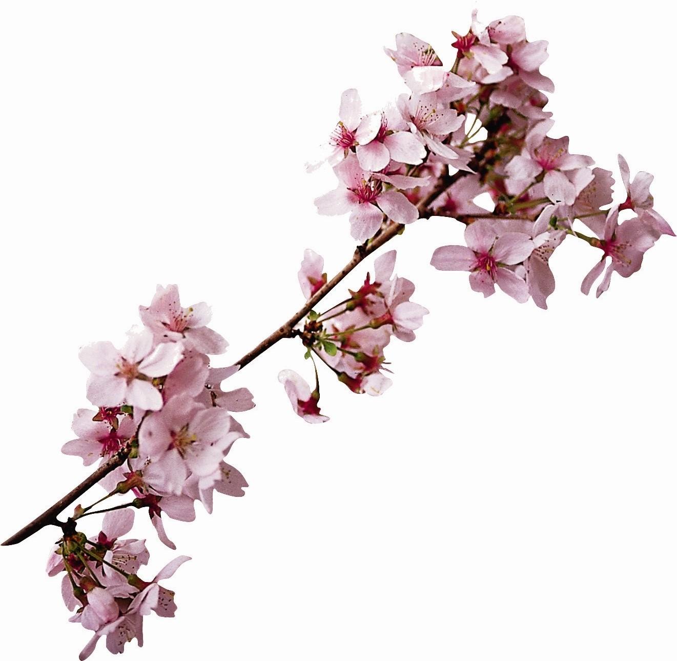 Kirschblütenzweig 195KB